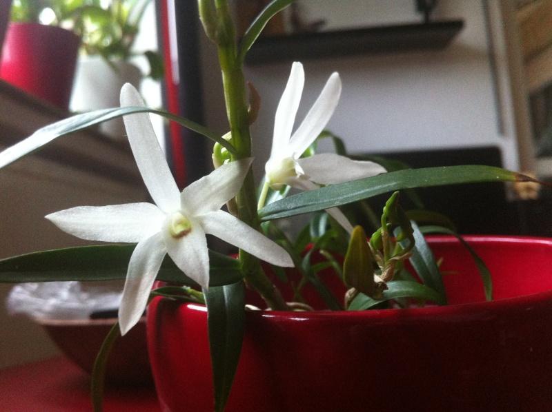 Dendrobium moniliforme Img_6710