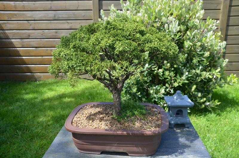 taille de remise en forme juniperus Dsc_2720