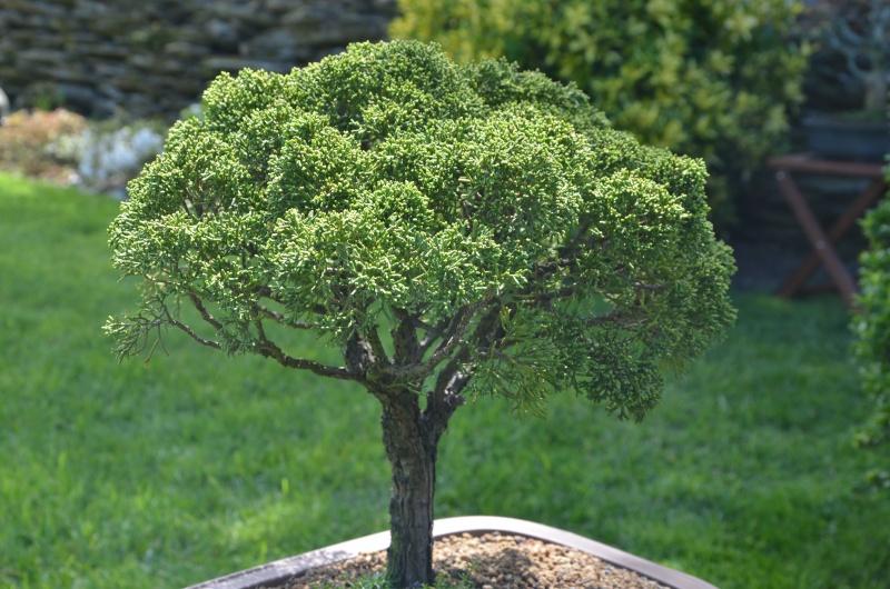 taille de remise en forme juniperus Dsc_2721