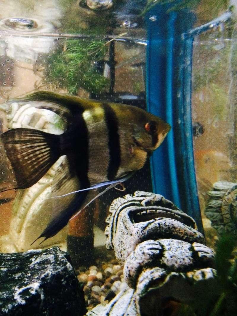 Angelfish Identification  Fullsi12