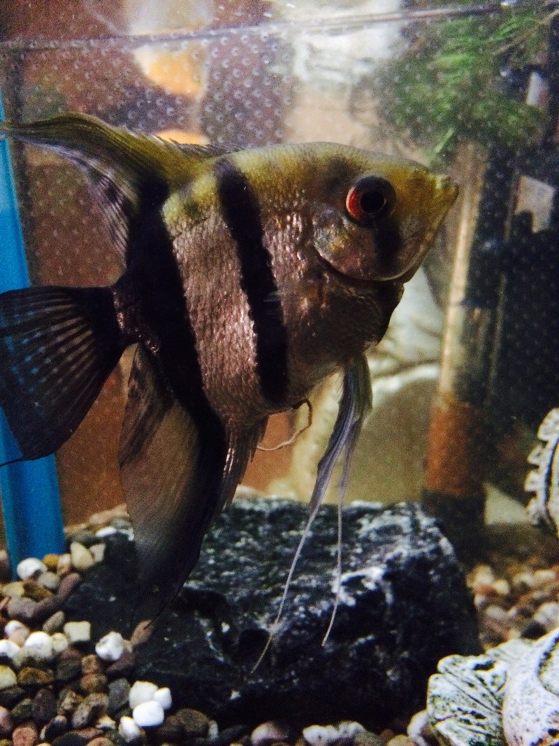 Angelfish Identification  Fullsi15