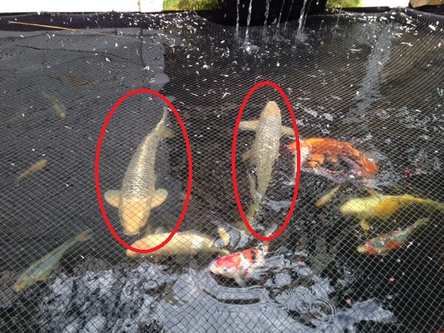 3 X Large Koi For Sale/Swop in CPT Img_0611