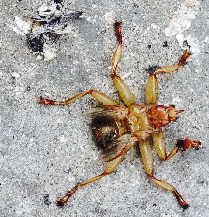 [cf. Crataerina pallida] Recherche de cet insecte Fullsi13