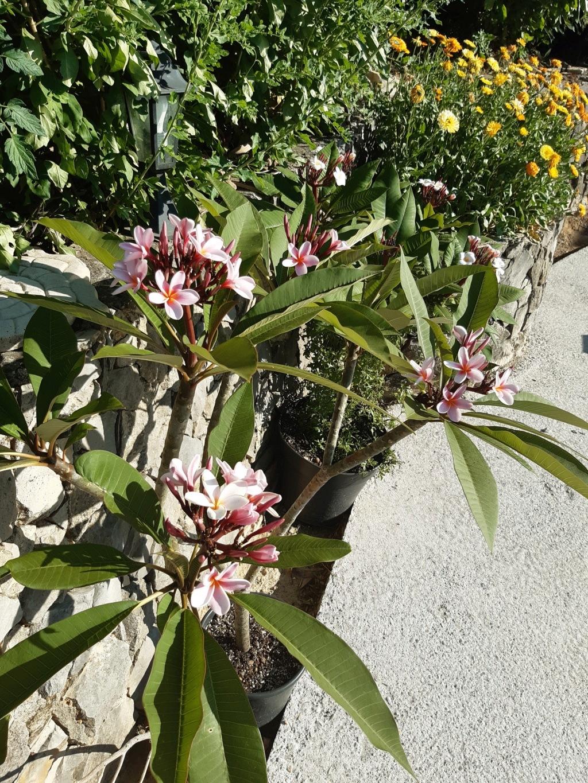 Plumeria (frangipanier) dans le var 20200612