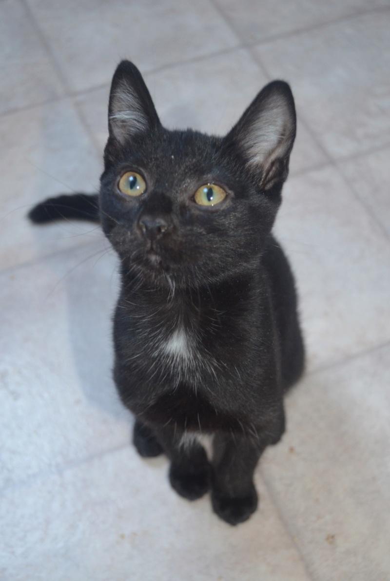 Mireille, femelle type européenne noire née le 20/06/2019 Dsc_0018