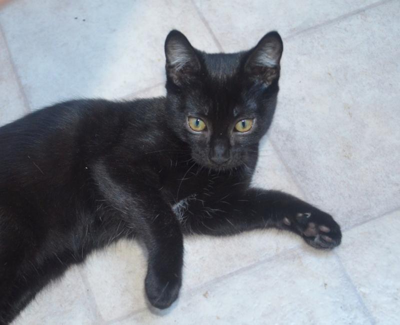 Mireille, femelle type européenne noire née le 20/06/2019 Dsc_0020