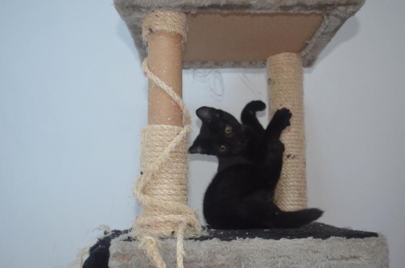 Mireille, femelle type européenne noire née le 20/06/2019 Dsc_0021