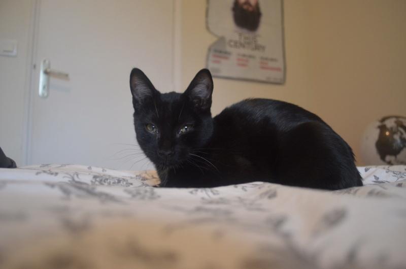 Mireille, femelle type européenne noire née le 20/06/2019 Dsc_0031