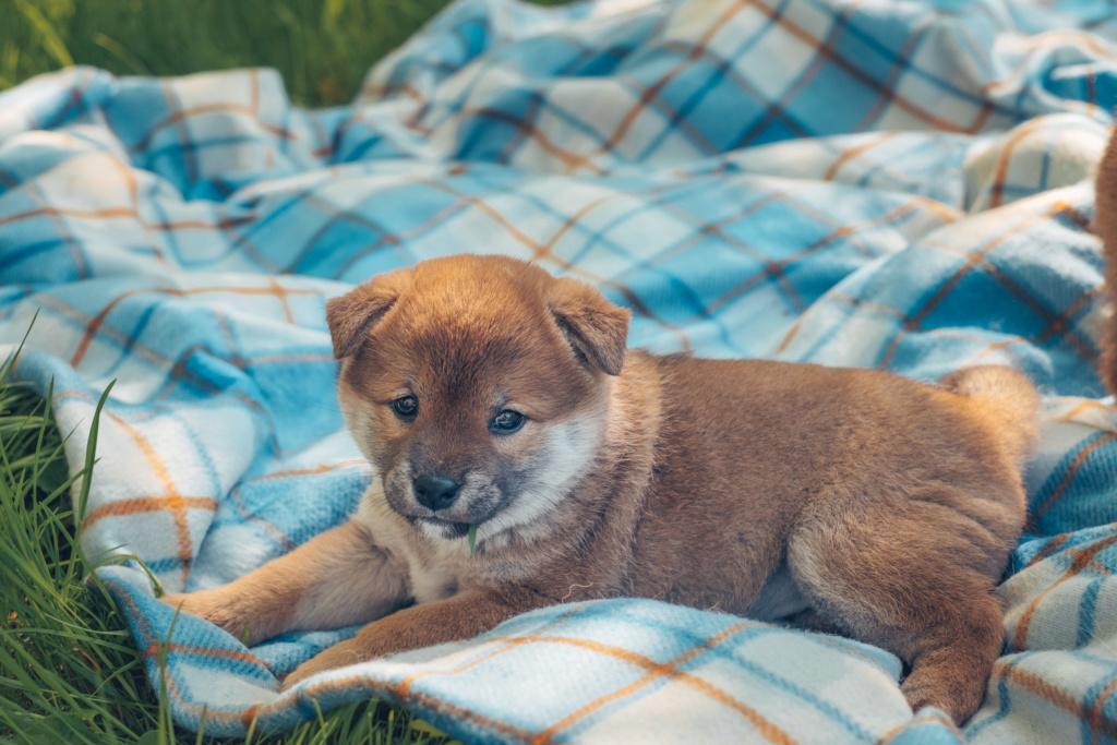 Куплю щенка девочку (Москва, МО и Санкт-Петербург) Dscf6012