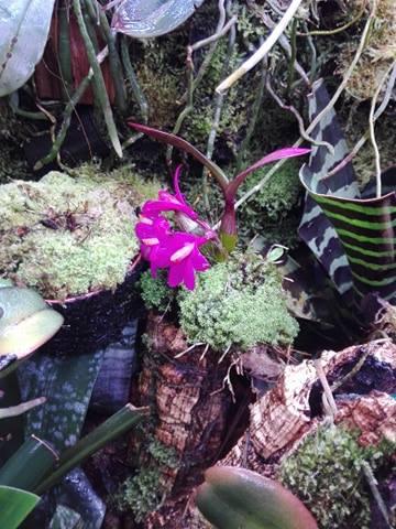 Dendrobium hekouense 51510810