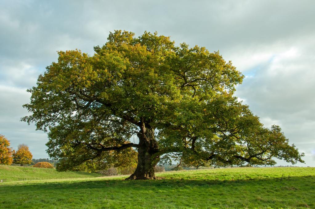 Un vieux chêne aux abords de Pré-Au-Lard Chene-10