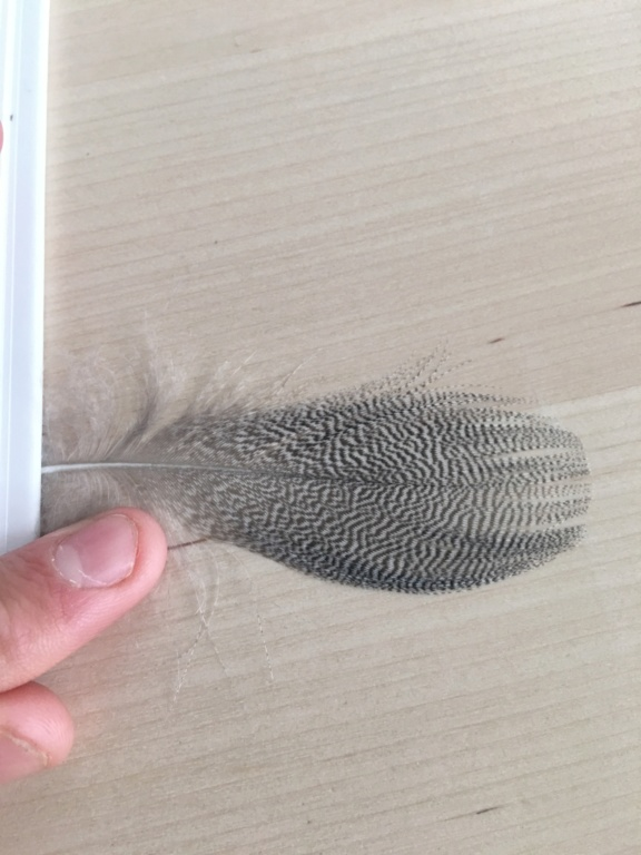 Identifications de plumes  Image12