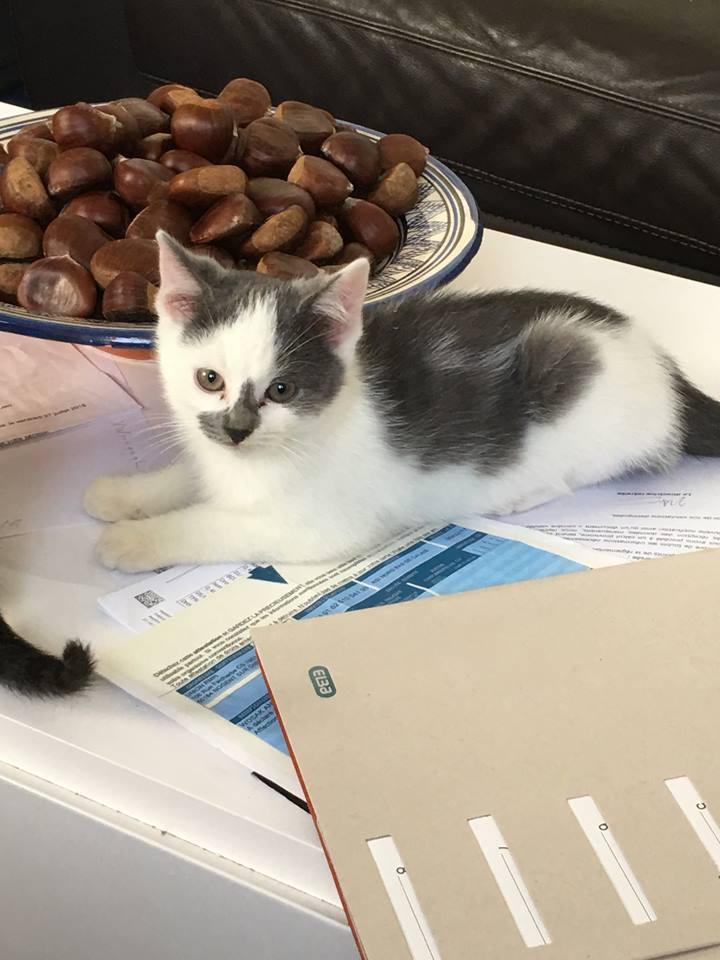 ROMEO petit coeur gris et blanc 2 mois et demi 44373110