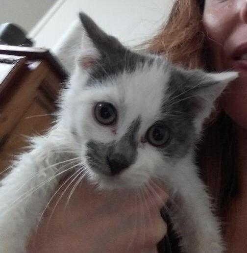 ROMEO petit coeur gris et blanc 2 mois et demi 44407310