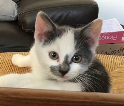 ROMEO petit coeur gris et blanc 2 mois et demi 44442710