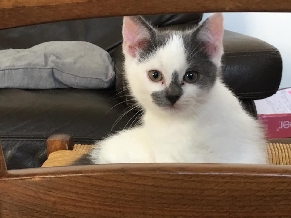 ROMEO petit coeur gris et blanc 2 mois et demi 44444010