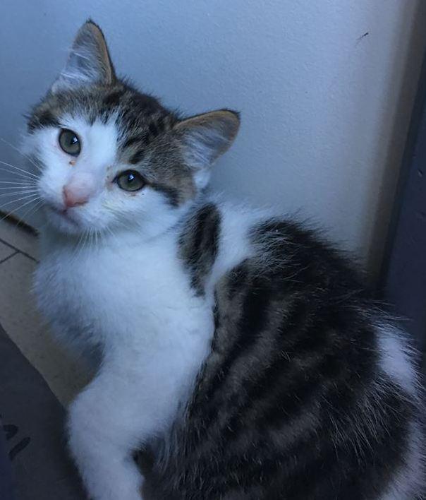 ACHILLE adorable chaton de 2 mois 1/2 44568810