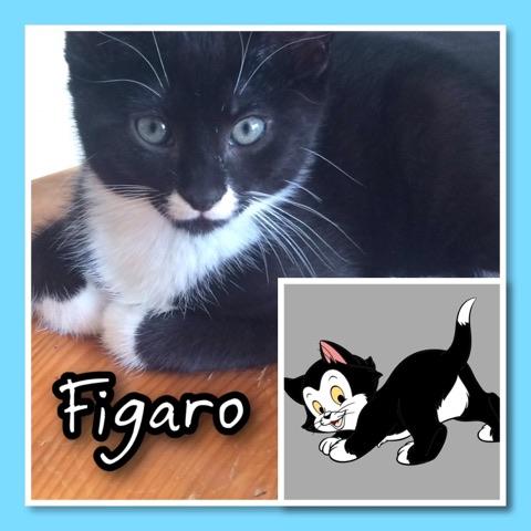 FIGARO 2 mois et demi petit coeur sur patte 65433510