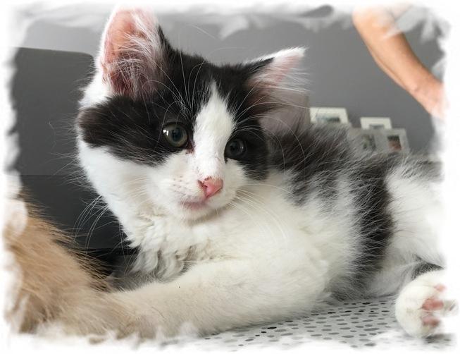 BASIL magnifique chaton angora Basil_10