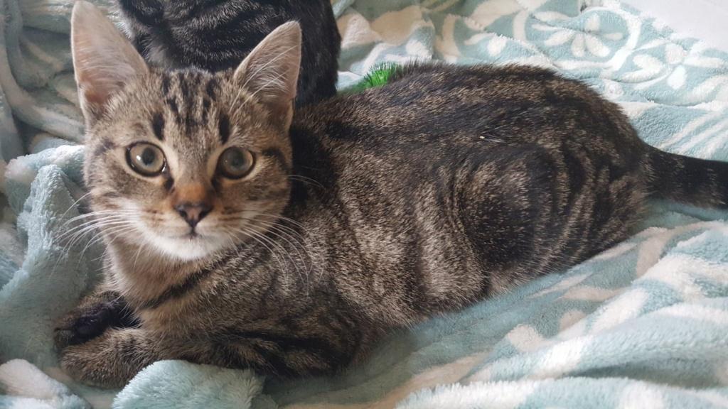 BROWNIE petite tigrée douce et affecteuse 3 mois Browni11
