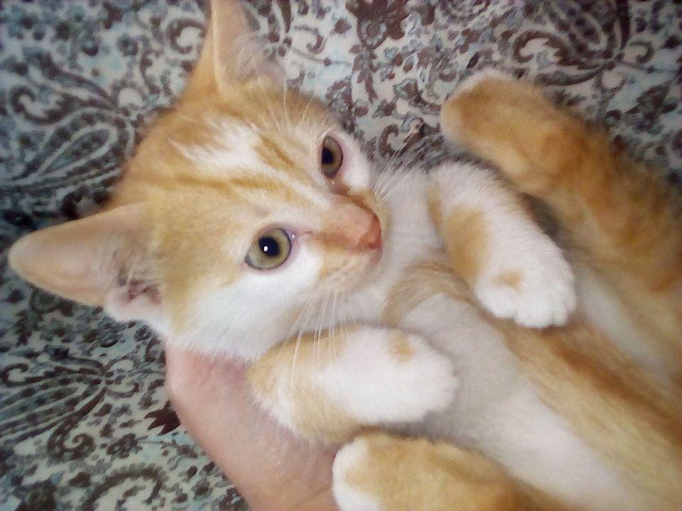 PAPRIKA un amour de chaton, 2 mois et demi Paprik10