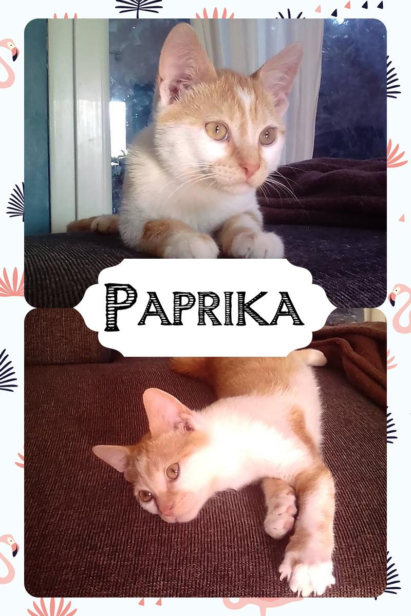 PAPRIKA un amour de chaton, 2 mois et demi Pixiz-15