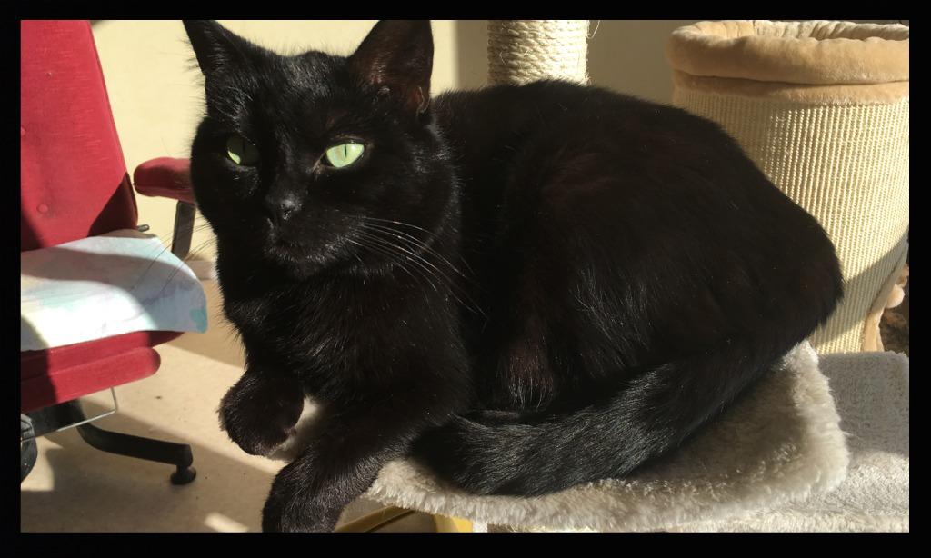 COMÈTE adorable chatte 4 ans Pixiz-55