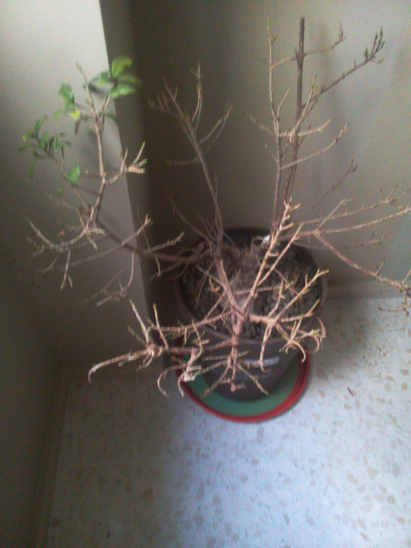 Bonsai Ficus Retrusa no brota hojas nuevas 15297710