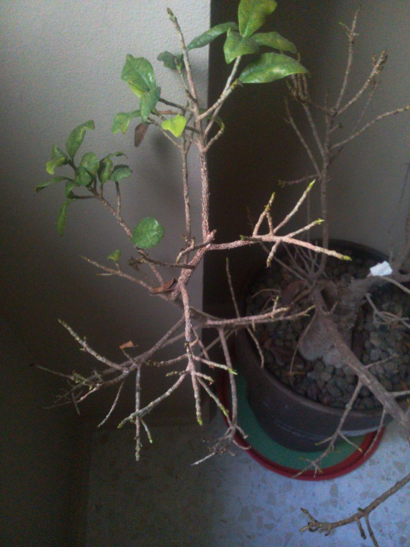 Bonsai Ficus Retrusa no brota hojas nuevas 15297711