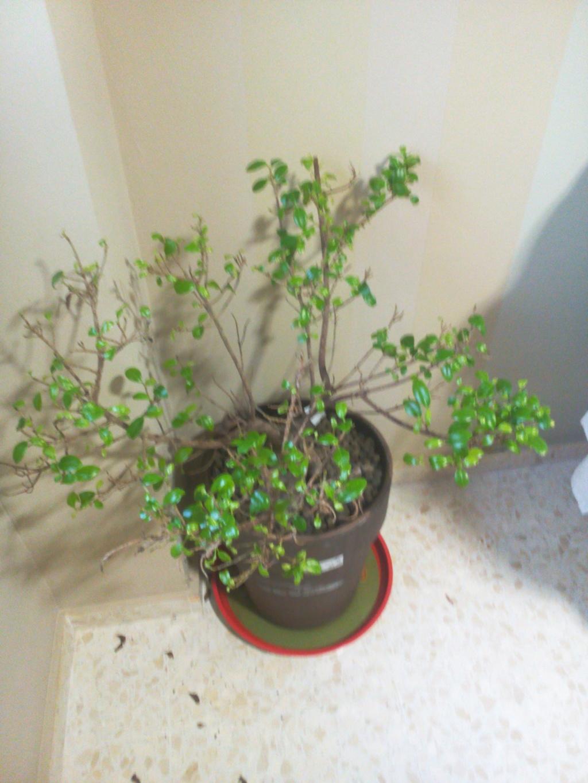 Bonsai Ficus Retrusa no brota hojas nuevas Img_2010