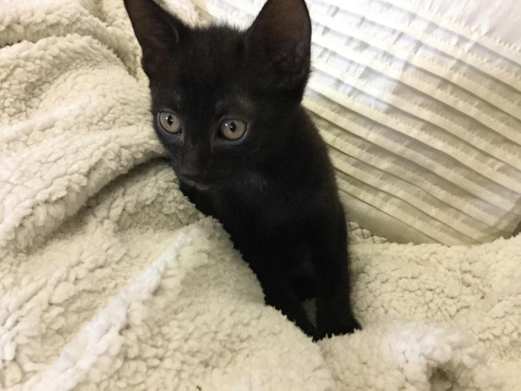 ORIZON, chaton noir, est né le 11 juin 2018 Img_0119