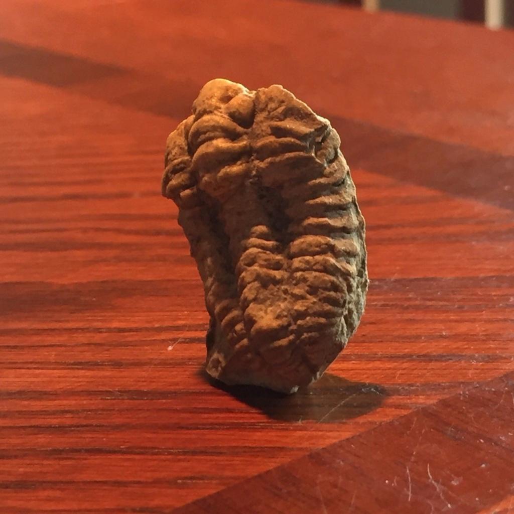 Trilobites, qué especie es S-l16011