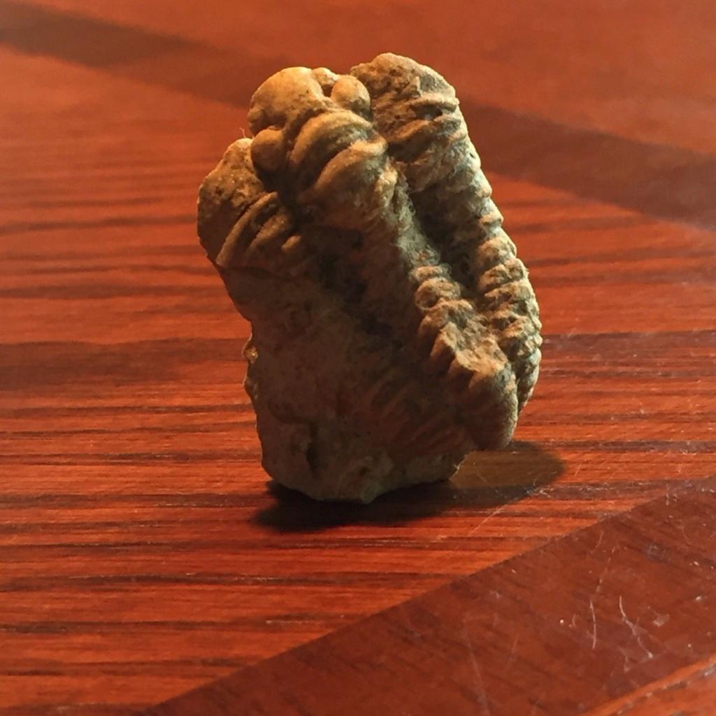 Trilobites, qué especie es S-l16013