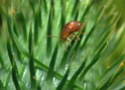 Bonjour coléoptère inconnue ?  000_0210