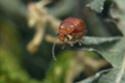 Bonjour coléoptère inconnue ?  000_0310