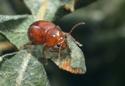 Bonjour coléoptère inconnue ?  000_0311