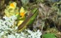 [Mecostethus parapleurus] Bonjour criquet vert  Euthystira brachyptera? Aa_110