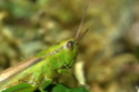 [Mecostethus parapleurus] Bonjour criquet vert  Euthystira brachyptera? Aa_210