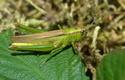 [Mecostethus parapleurus] Bonjour criquet vert  Euthystira brachyptera? Aa_310