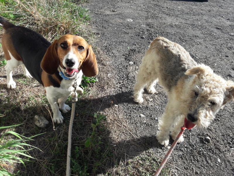 LOLI (femelle beagle) 20180911