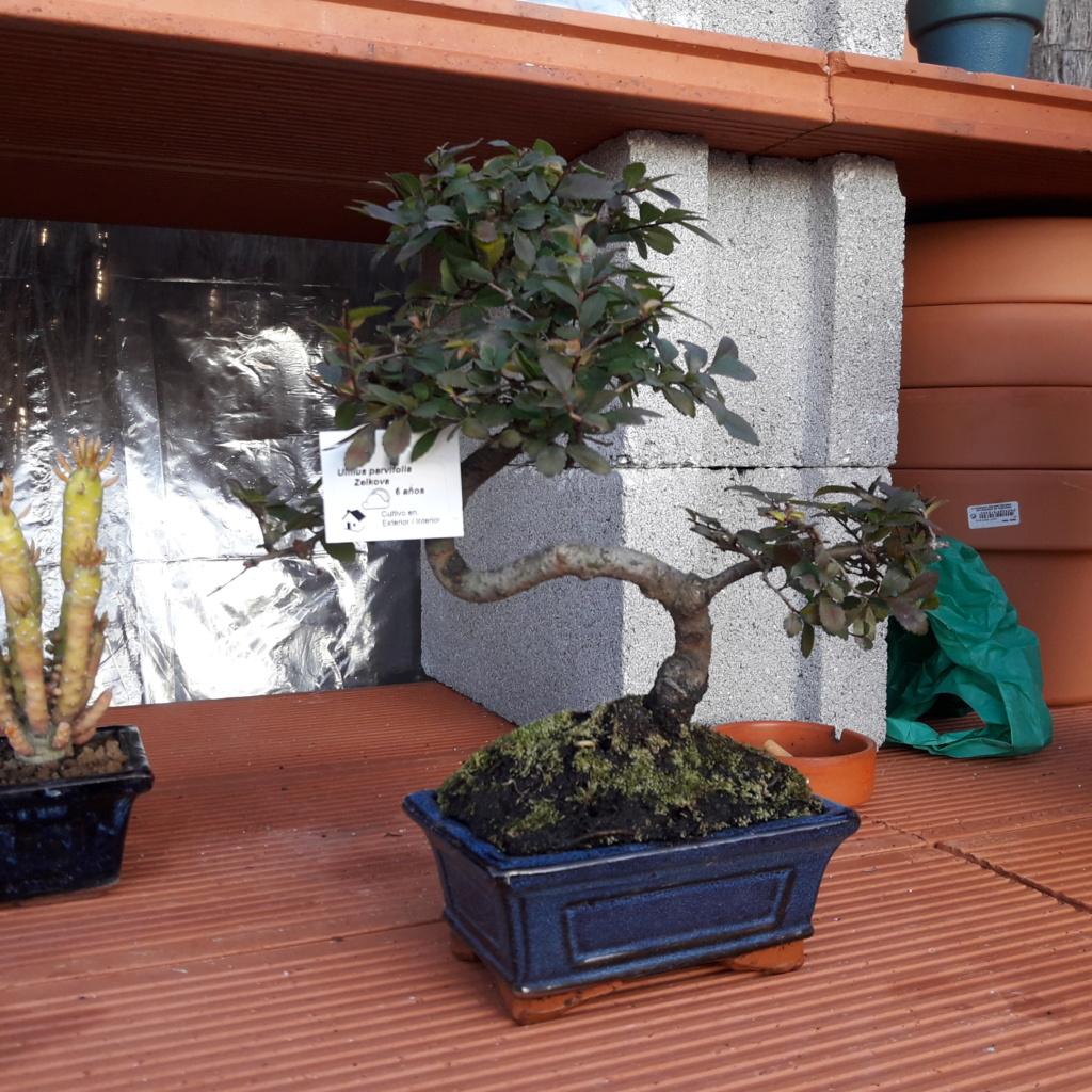 Primer bonsai Zelkova parvifolia 20180111