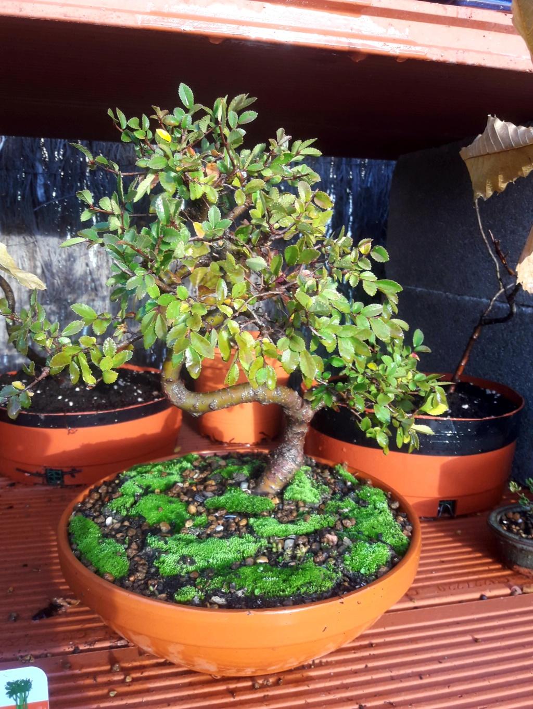 Primer bonsai Zelkova parvifolia 20181111