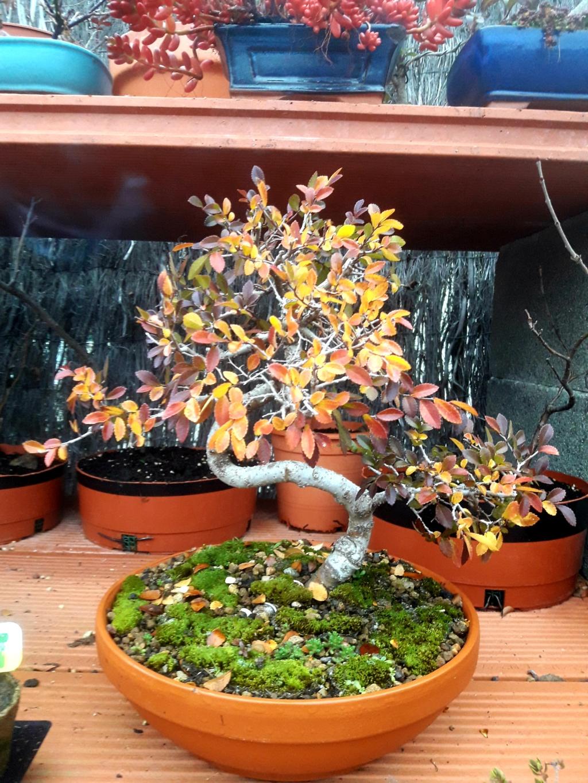 Primer bonsai Zelkova parvifolia 20181211