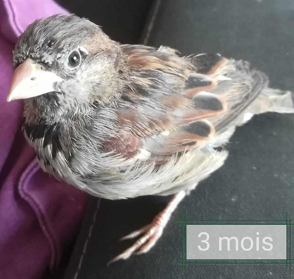 Moineau tombé du nid Pioupi12