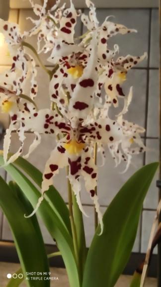 Odontoglossum naevium Img_2011