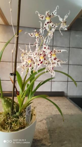 Odontoglossum naevium Img_2012