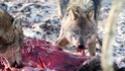 G´tt hat keine Raubtiere erschaffen. Aber warum wurden sie zu Raubtieren? - Seite 2 Wolfsb11