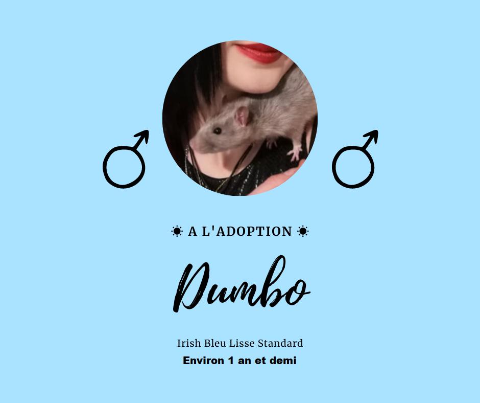 Recherche 3 rats jeunes  Dumbo11