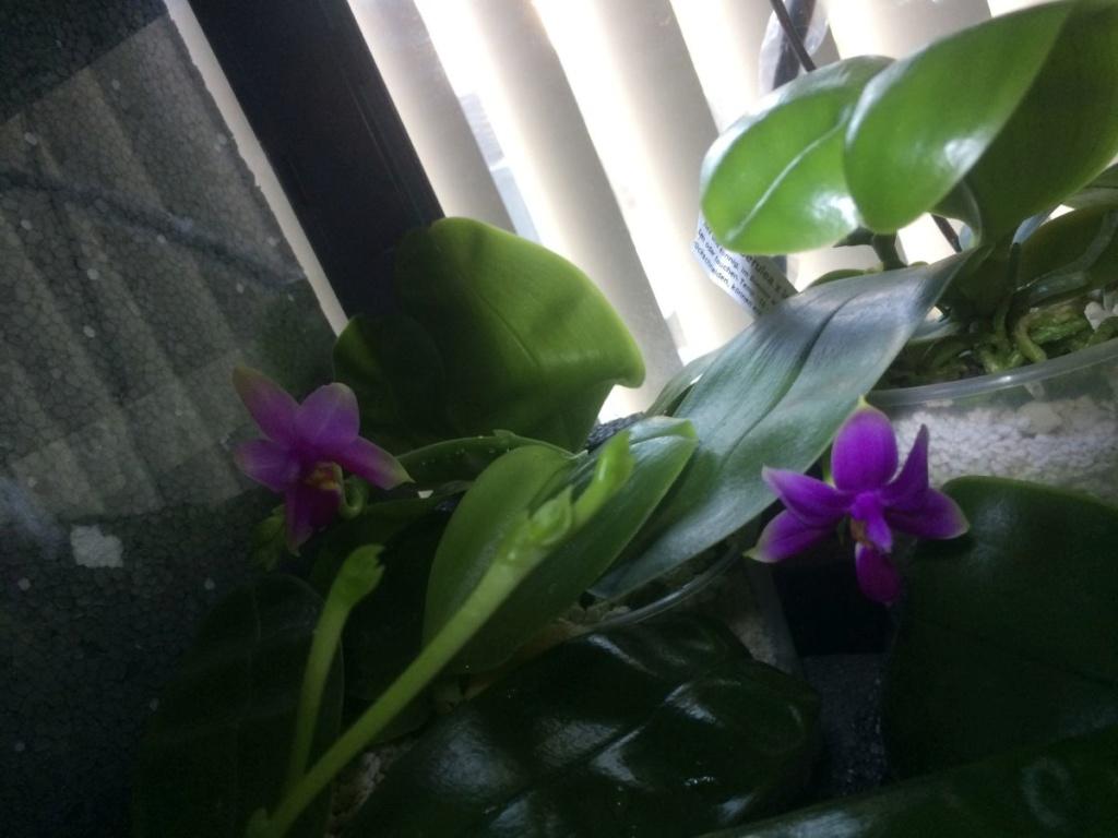 Phalaenopsis 2 - Seite 40 Img_5310
