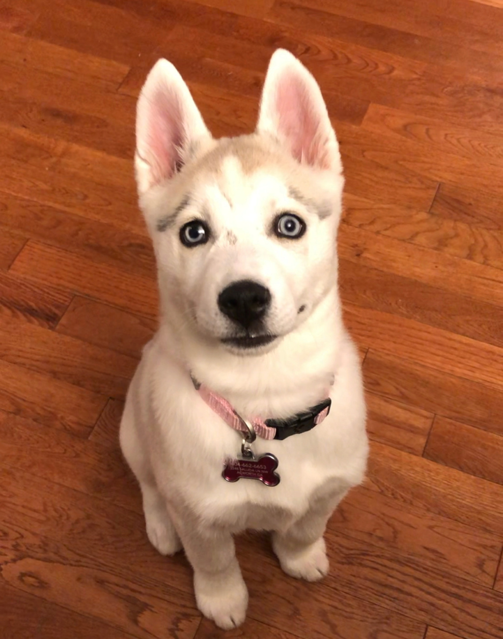 Looking for Husky Specific training info - New Puppy 2020-010